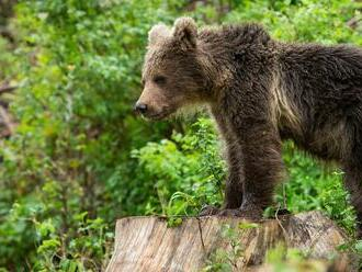 V okolí Sučian sa pohybuje nebezpečný medveď: Stratil plachosť, žiadne plašenie nezaberá