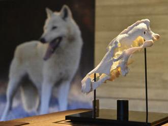 Výstava v Archeoparku Pavlov otevírá téma vztahu člověka a vlka