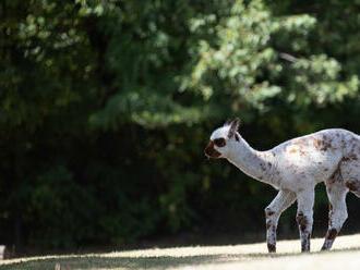 Za dverami ZOO: Lama je lepšia ako horolezci. A bitku začína pľuvancom