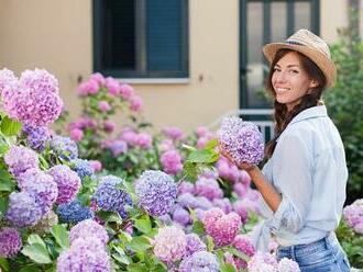 Hortenzie oživí každou zahradu. A navíc je můžete sušit