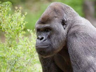 Gorily v zoo v Atlante mali pozitívne testy na COVID-19